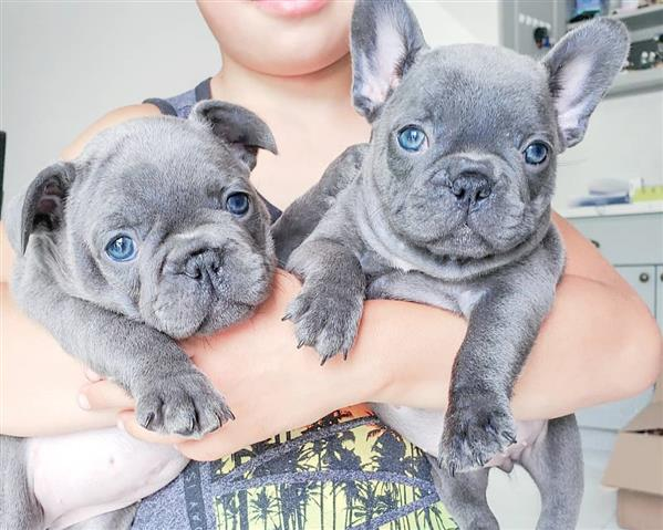 $500 : FRENCHBULLDOG PUPPIES FOR SALE image 1
