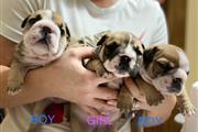 Cachorros Buldog Criar en Casa
