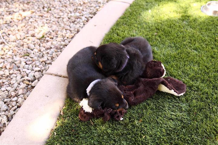 Rottweiler 2 machos 1 hembras image 2