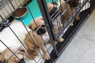 PUG PUPPIES FOR REHOMING. en New Orleans