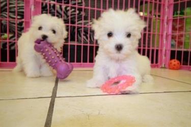 Maltese puppies en Santa Barbara