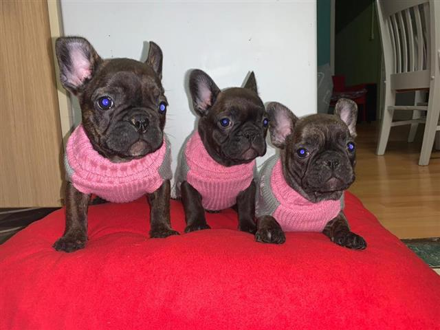 Cute French Bulldog Puppies image 2