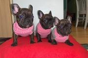 Cute French Bulldog Puppies thumbnail