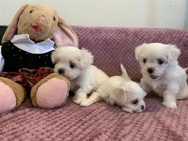 $350 : Maltese Puppies image 3