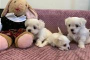 $350 : Maltese Puppies thumbnail