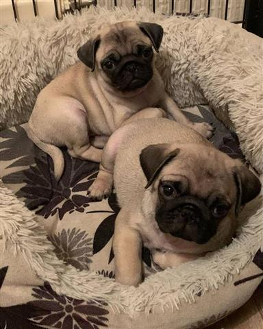 $500 : PUG PUPPIES FOR REHOMING image 2
