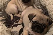 $500 : PUG PUPPIES FOR REHOMING thumbnail