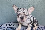 Frenchies For Sale en Los Angeles County