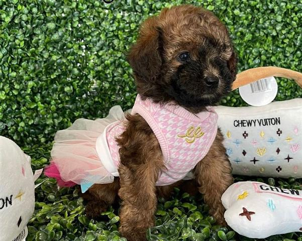 $500 : poodle puppies for sale image 1