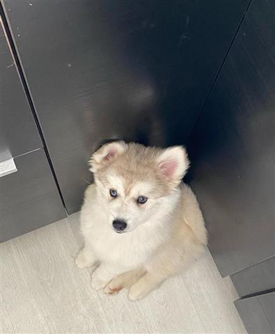 $400 : Pure Siberian Husky image 1