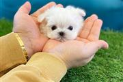 Tea cup puppy for sale