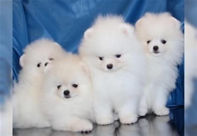 Bright & Cutest Pomeranian Pup image 1