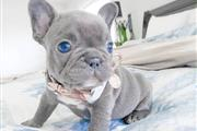 FRENCH BULLDOG PUPPIES FOR SAL en Los Angeles County
