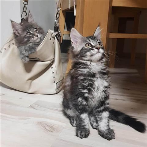 $800 : Male And Female Maine Coon. image 1