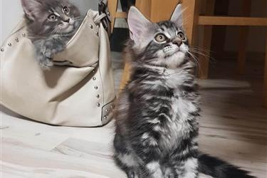 Male And Female Maine Coon. en Jersey City
