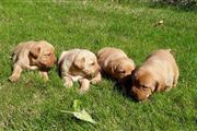 Pedigree Golden Retriever Pups