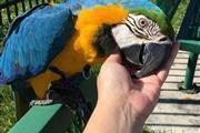 Baby Ruby Gold Macaw