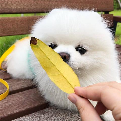 $350 : Tea-Cup Pomeranian puppies image 1