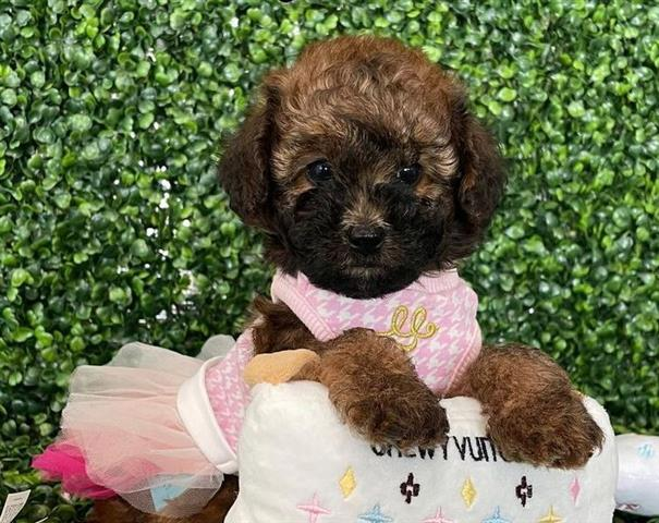 $500 : poodle puppies for sale image 2