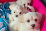 Los cachorros malteses en Los Angeles County