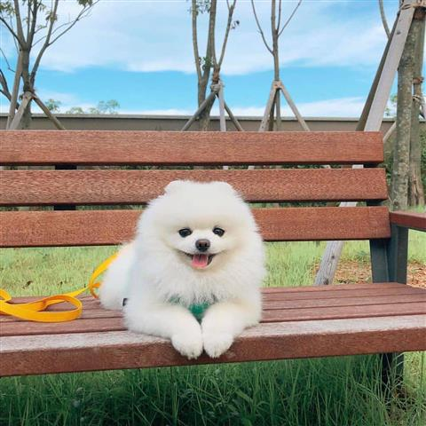 $350 : White Pomeranian image 1