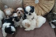 Cachorros tiernos tzu de mierd thumbnail