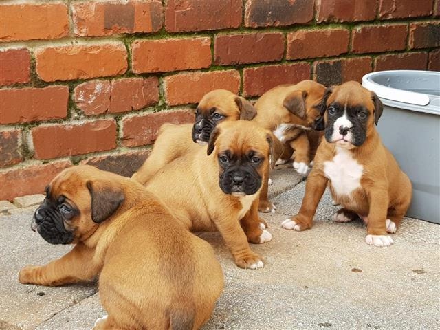 $560 : Lindos cachorros boxer disponi image 1