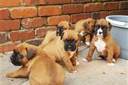 Lindos cachorros boxer disponi