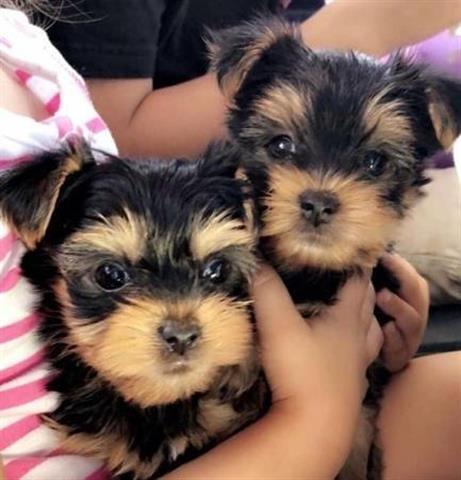 $300 : Cachorros Yorkie en adopción image 1