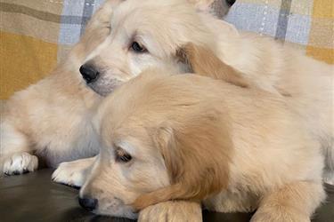 adorable Golden Retrievers Pup en Newark