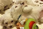 Maltese Puppies Available en Virgin Islands