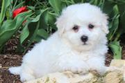 Bichon Frise Puppies en Charlotte