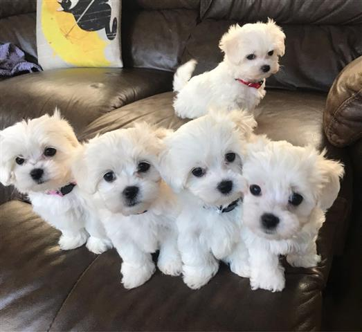 $600 : maltese puppies image 3