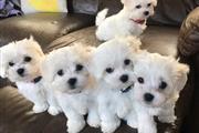 $600 : maltese puppies thumbnail