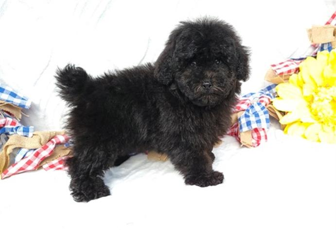 $635 : Black Toy Poodle Puppies for s image 1