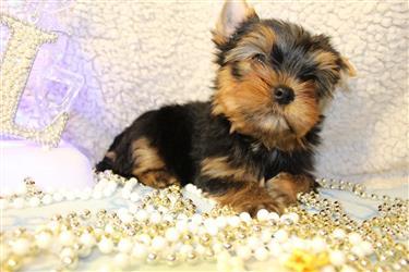 Yorkshire Puppies For Re-Homi en Virgin Islands