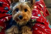 active yorkie pups for sale