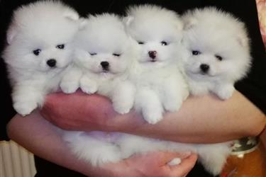 Lovely Pomeranian Puppies en Los Angeles County