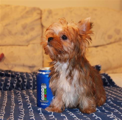 11 weeks old yorkie pup image 1
