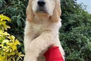 Female Golden Retrievers Pup