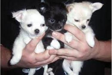 Chihuahua Puppies for Rehoming en Hialeah