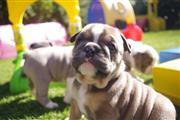Cachorros bulldog ingles en Washington DC