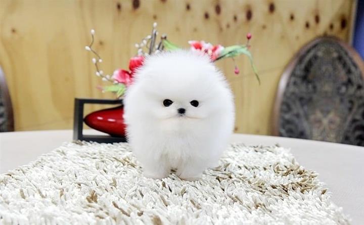$500 : Preciosos cachorros image 1