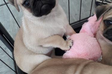 Gorgeous Pug Puppy For You en New Orleans