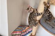 hermoso gatito de bengala en v en Imperial County