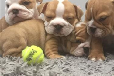 English Bulldog Puppies en Charlotte