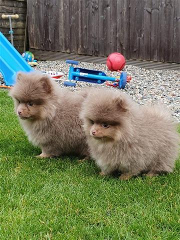 Lovely Pomeranian puppy image 2