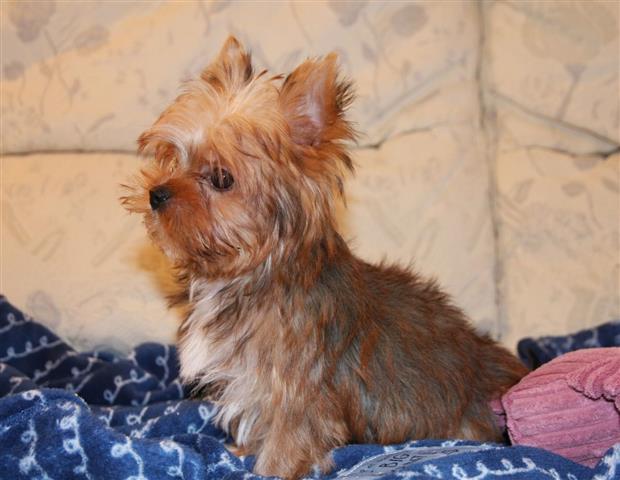 11 weeks old yorkie pup image 3
