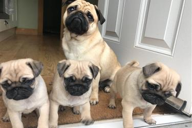 Pure Breed PUG Puppies. en Newark