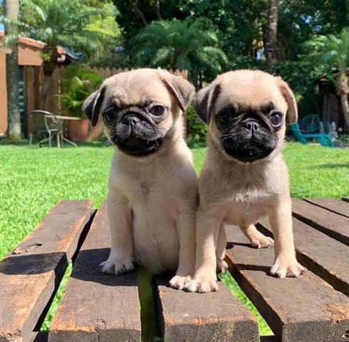 $500 : PUG PUPPIES FOR REHOMING image 4